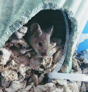 "Young Male Small & Furry - Mouse: ""Isaac"""