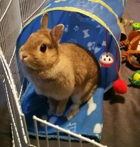 "Adult Female Rabbit - Netherland Dwarf: ""Gingersnap"""
