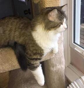 """Adult Male Cat - Domestic Long Hair: """"Ollie: Intake #2016-62"""""""