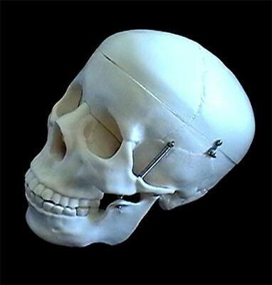 Life Size Human Anatomical Skeleton Skull