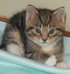 "Baby Male Cat - Tabby - Brown: ""Bryce"""