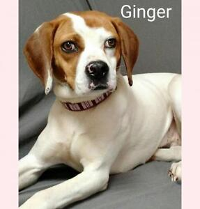 """Young Female Dog - Boxer: """"PRETTY AS A PICTURE; GINGER"""""""
