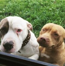 LOST DOGS Meadow Heights Hume Area Preview