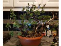 Quality Shimpaku Juniper wood bonsai material