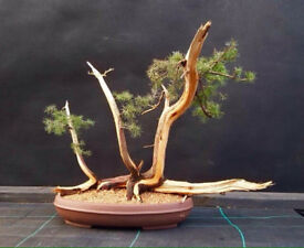 Yamadori needle juniper Raft bonsai
