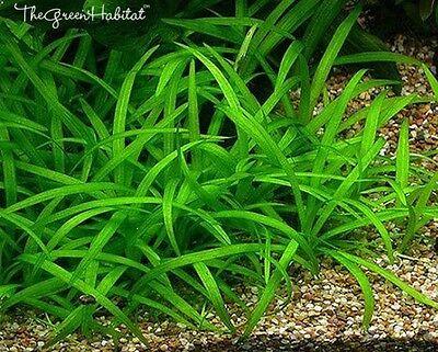 Dwarf Sagittaria Subulata   Live Aquarium Plant Easy Foreground Java Moss Ada