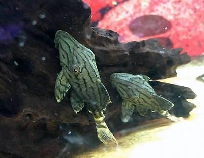 Royal Pleco - Panaque nigrolineatus (L191 Plecostomus)