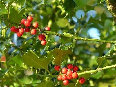 30 Common Holly Hedging Evergreen Plants, Ilex aquifolium 25-35cm in P9 Pots