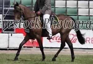 Buckskin Stock Horse Gelding Langwarrin Frankston Area Preview