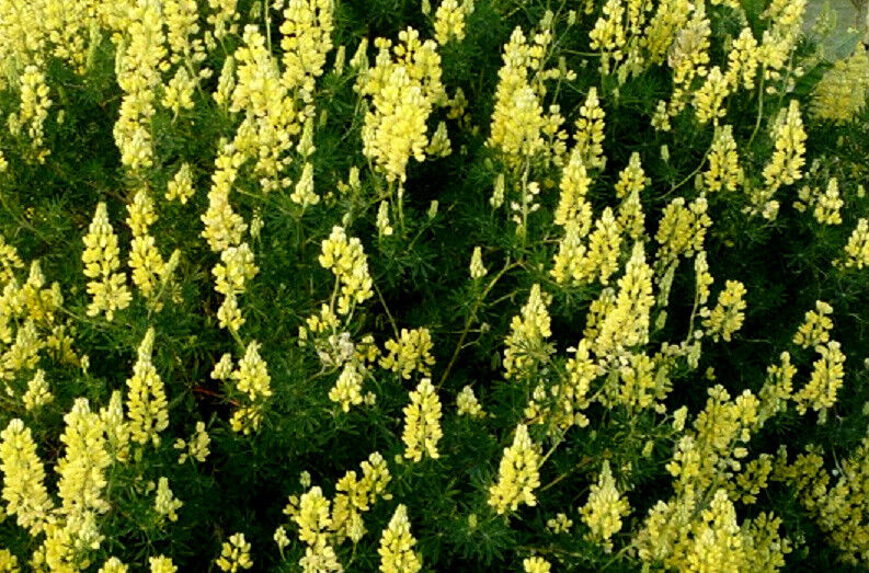 how to grow lupinus angustifolius plant from seeds