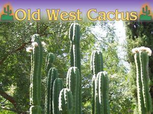 Trichocereus Pachanoi San Pedro Cactus 99