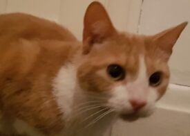 Ginger and white male 4years old
