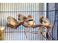 Mutation Zebra Finch