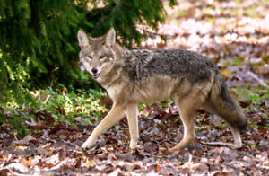 Looking for Coyote Hunter