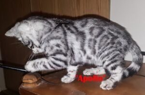TICA Registered Bengal Kittens - Delivery on Saturday!!