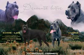 Pedigree Cane Corso Puppies