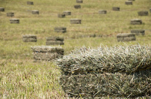 Small Square Hay Bales for Sale!!!
