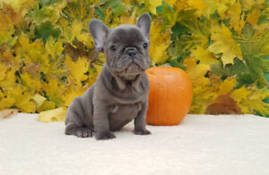 Blue and black french bulldog puppies for sale