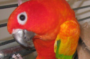 RED FACTOR BREEDER SUN CONURE FEMALE