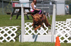 Peterborough Flyball Dogs Accepting Applications Peterborough Peterborough Area image 2