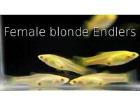 Endler Guppy's ( female blonde snakeskins ) 4 for £5