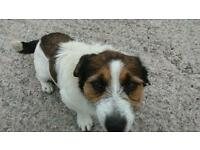 Jack Russell dog 21 months old