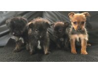 Jack Russell cross Yorkshire terrier puppies