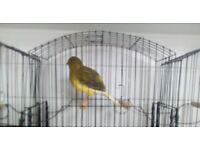 Border canaries for sale