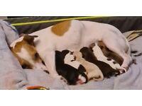 Jackapoochon puppies for sale