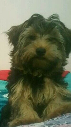 5 Month Old Long Haired Yorkshire Terrier In Kearsley Manchester