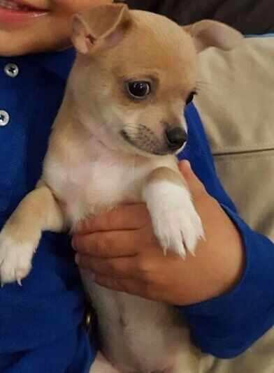 Beautiful full Chihuahua puppies for sale