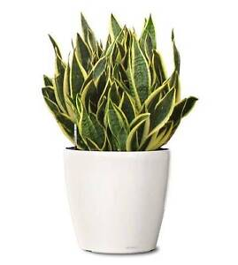 Mother in Laws's Tongue /   Snake Plant St Clair Penrith Area Preview
