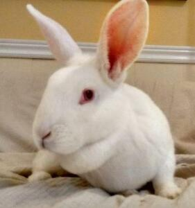 "Young Female Rabbit - New Zealand: ""Evie"""