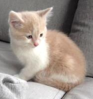 "Baby Male Cat - Domestic Medium Hair - buff and white: ""Chip"""