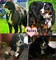 "Adult Female Dog - Bernese Mountain Dog: ""Bailey"""