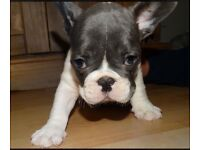 KC Registered French Bulldogs Blue/Blue Fawn