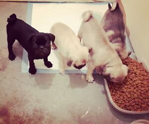 Adorable Pure Breed Pug Puppies for sale