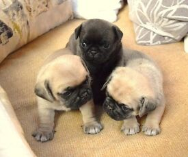 5 baby pugs looking for a good home to go to.