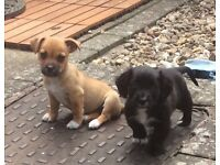 Two 10 week male small puppies