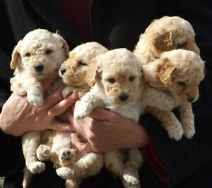 PURE BREED  Miniature APRICOT POODLE Puppies for Sale TWO LEFT