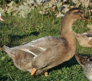 Pair of Rouen Cross Ducks