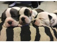 Olde English Bulldog X Puppies