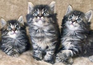 Hypoallergenic Siberian Kittens Vaccinated Males