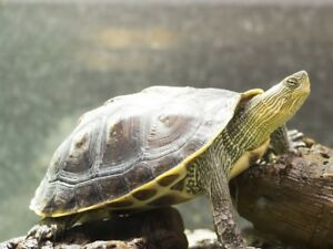 Wanted: adult MALE golden thread turtle