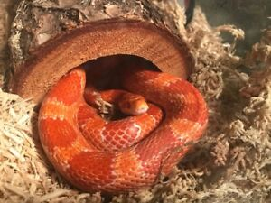 Corn Snake with aquarium, $80 OBO