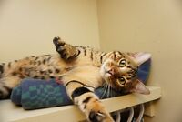 10 month old Bengal Cat *NEED GONE ASAP*