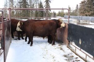2 Year Old Cross Breed Bulls for Sale(Fort Fraser)