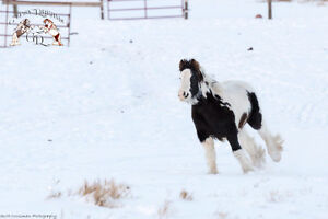 Gypsy Vanner colt,BLK/WHT, w/excellent bloodlines, born Jun 1/16