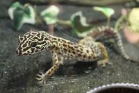 Gecko leopard male