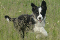 Registered Purebred Border Collie Puppies